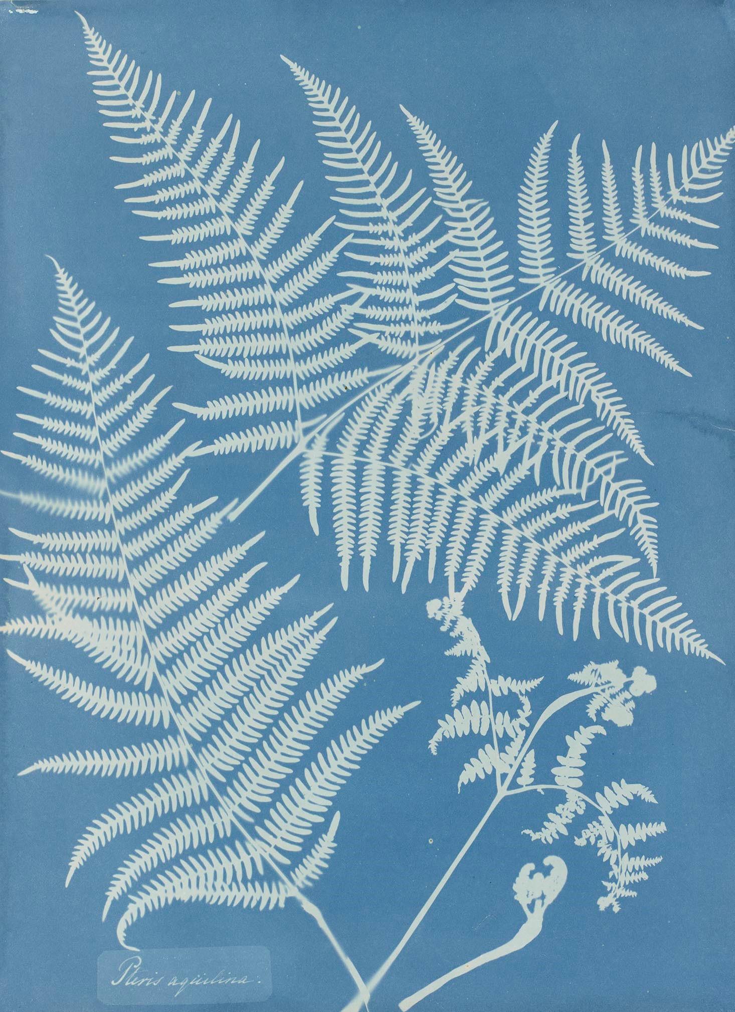 Anna Atkins, Pteris aquilina, 1851