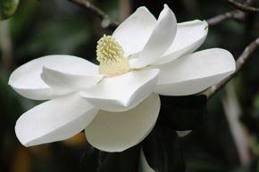 BB southern magnolia
