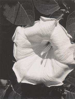 Georgia O'Keeffe, Jimson Weed (Datura stramonium), 1964–68, black-and-white Polaroid